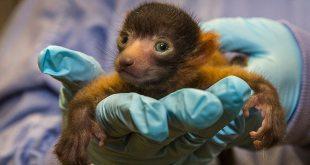 San Diego Zoo Welcomes First Red Ruffed Lemur Birth In 13 Years