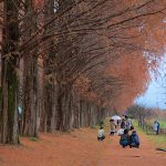 2016 autumn colors play back – Shiga Prefecture Takashima Metasequoia Namiki