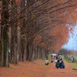 2016 autumn colors play back – Shiga Prefecture Takashima Metasequoia Namiki
