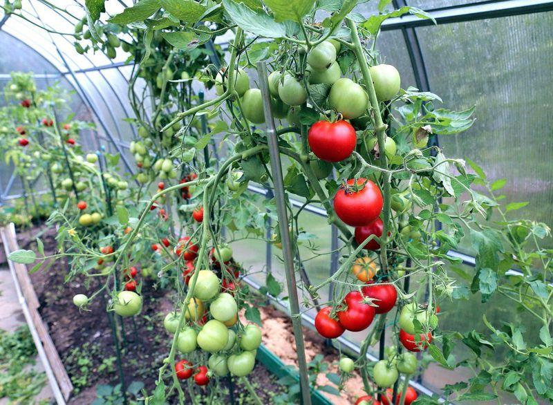 Tomater i Teplice