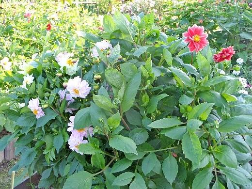 низкорослые цветы георгины, посадка и уход - сорт унвинс дварф