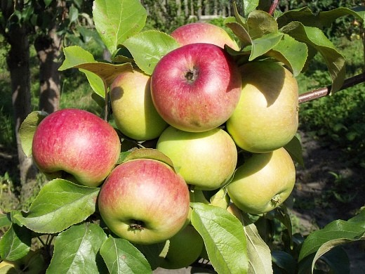 13 сортов яблонь для Подмосковья с фото и описанием