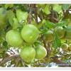 グレープフルーツ(グレープフルーツ・ホワイト)☆彡 精油(アロマテラピーのエッセンシャルオイル)の作用効能