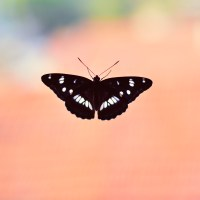 Butterfly on peach-colored background