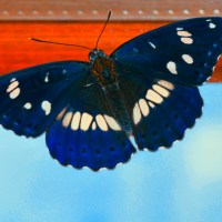 Blue butterfly – insect