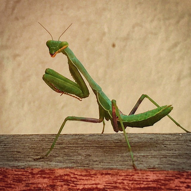 Ms. Mantis to you