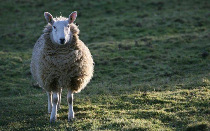 Schaf oder Wolf - wer bist du wirklich?