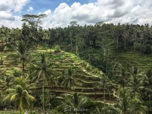 Die unendlichen Reisterrassen auf Bali - diese Farben (und Hitze und Schwüle!)