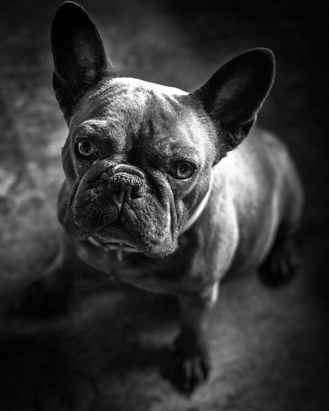 French bulldog pregnant female black and white pet portrait