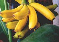 """Yes, Nós temos Banana pra dar e vender Banana, menina, tem vitamina Banana engorda e faz crescer"""