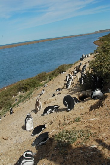 So many penguins, Peninsula Valdez, Argentina