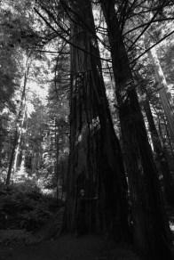 i have to hug this redwood