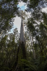 Gum trees are the world's second largest trees