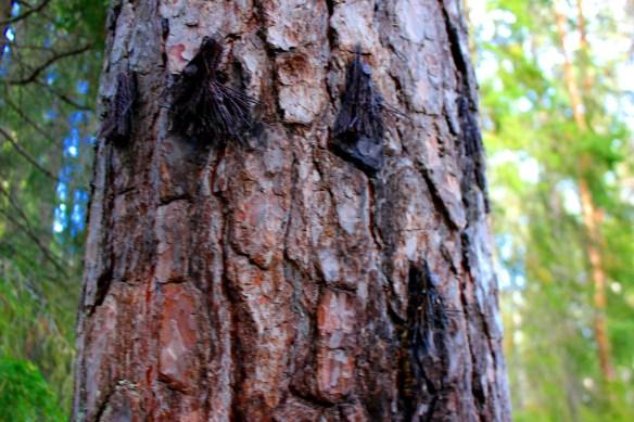Hårnålstäd på Österåsen