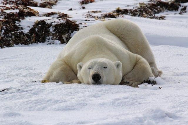 polar-bear_jadzia-von-heymann