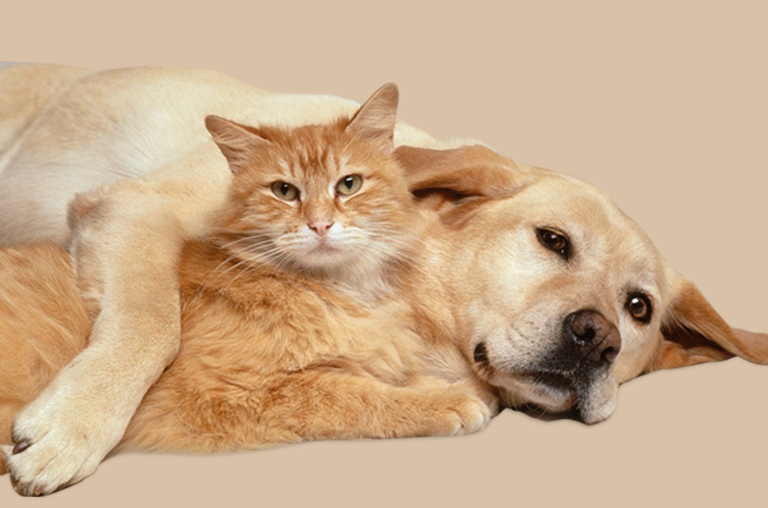 Cats and Dogs Will Spread COVID19