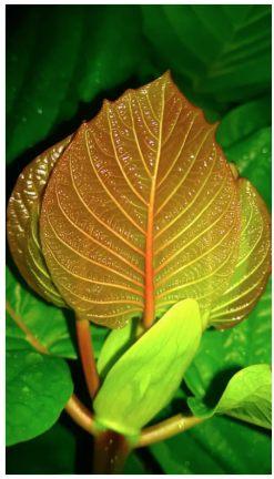 buy kratom plants