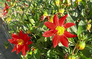 Vibrant red flowers taken by Sue Ellam, London, UK