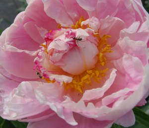 """Before a peony unfurls its colorful petals, ants are attracted to the flower's sweet nectar."""