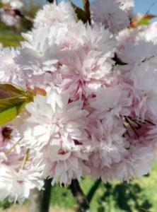 Le temps des cerisiers_souliervertblog (18)