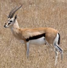 Archetype_Antelope