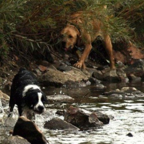 Dogs in the Water