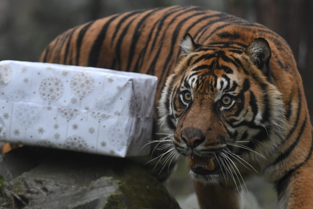 A picture taken on December 23, 2016 shows a Sumatran tiger next to a wrapped package filled with food as a Christmas gift at the zoo of La Fleche, western France, on December 23, 2016. / AFP PHOTO / JEAN-FRANCOIS MONIERJEAN-FRANCOIS MONIER/AFP/Getty Images ** OUTS - ELSENT, FPG, CM - OUTS * NM, PH, VA if sourced by CT, LA or MoD **