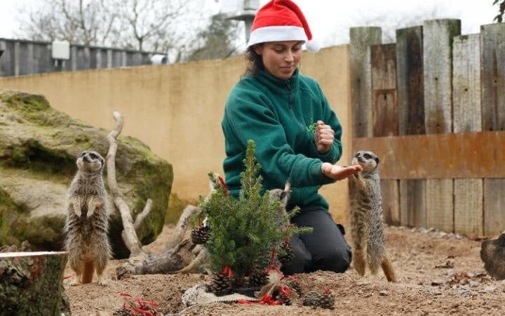 meerkat-christmas-treat-9c-zsl-london-zoo-6-large_trans_nvbqzqnjv4bqzgekzx3m936n5bqk4va8rwtt0gk_6efzt336f62ei5u
