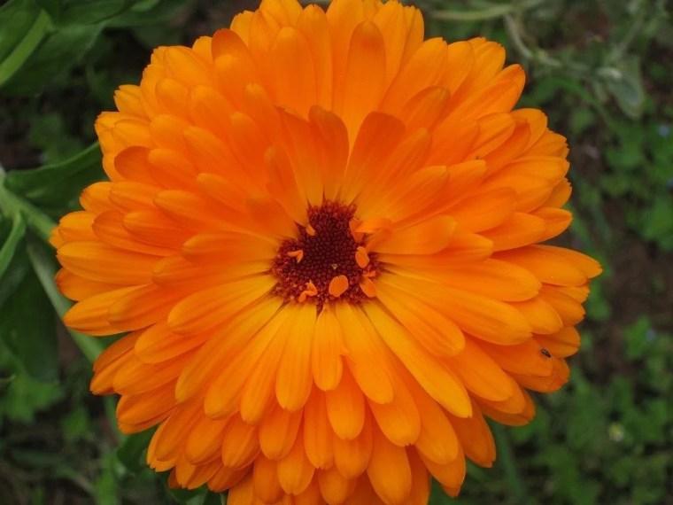 close up of a calendula