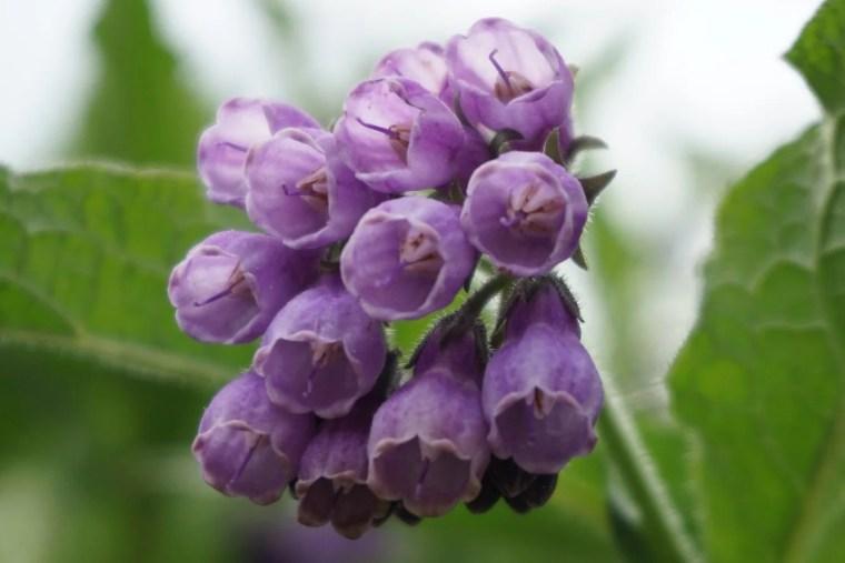 comfrey plant close up