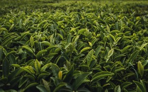 close up of a field of green tea leaves