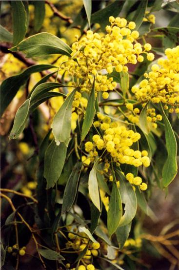 Golden Wattle