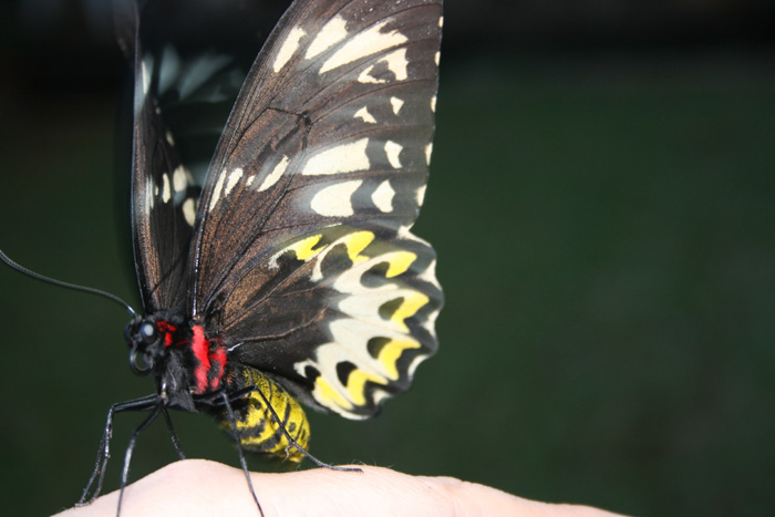 Richmond Birdwing Butterfly Female - garden