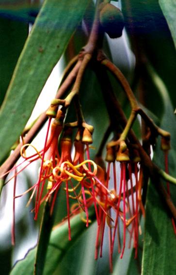 Native Mistletoe - Australian flora