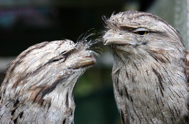 tawny-frogmouth-pair-web