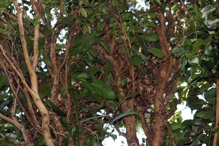 Ringtail Possum Tree Nest1