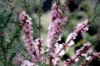 Peach Blossom Tea Tree