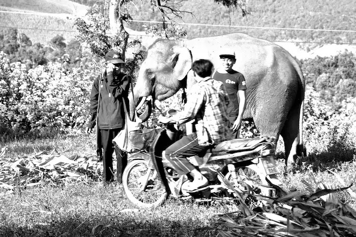 wild elephants in thailand