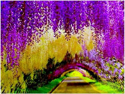 wisteria-tunnel japan0
