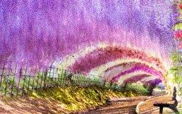 wisteria-tunnel japan