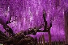 wisteria-