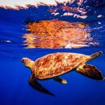 green turtle, blue water, reflection