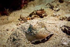 stingray, spotted lagoon ray