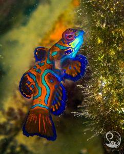 mandarin fish, colourful