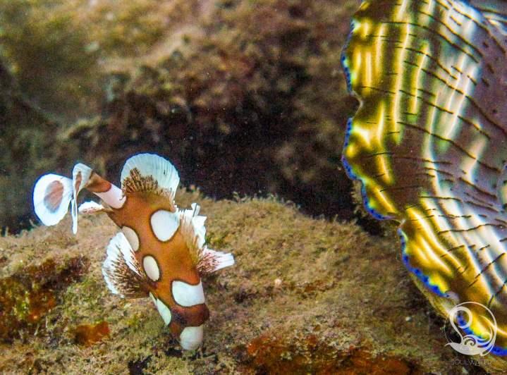 juvenile sweetlips fish