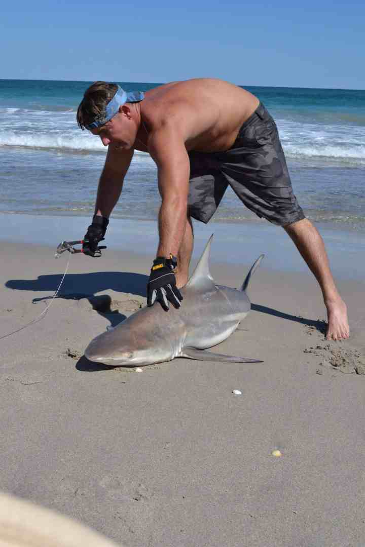 Fisherman with large oceanic blacktip shark on beach, catch and release
