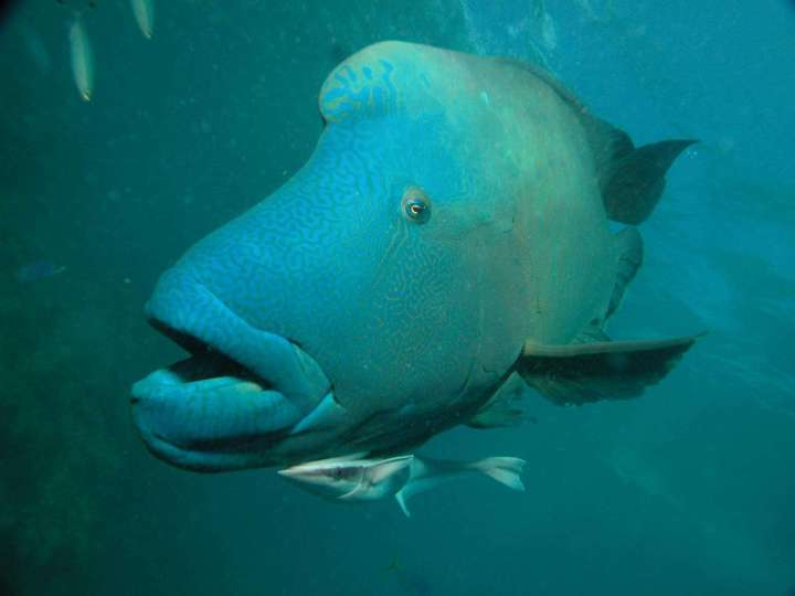 Beautiful Napoleon Wrasse / Maori wrasse fish