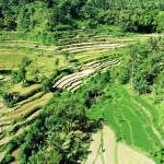 rice fields, paddies, Amed, Bali, Indonesia, green, lush, drone, aerial