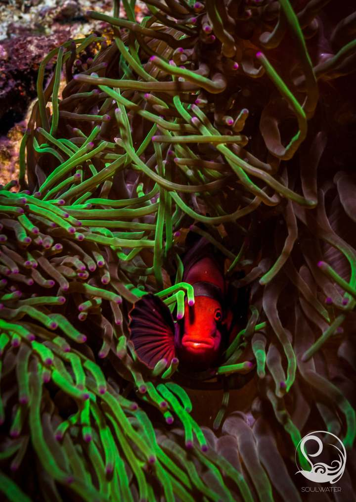Vibrant red anemone fish in green anemone