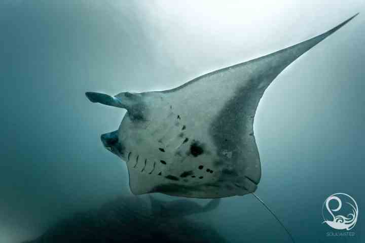 Manta ray flying overhead underwater, belly markings, manta point, Nusa Penida, Bali, Indonesia